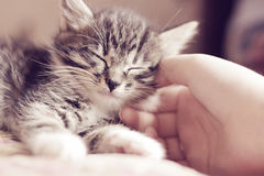 Happy kitten likes being stroked by woman`s hand Royalty Free Stock Photography