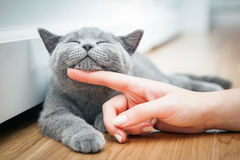 Happy kitten likes being stroked by woman`s hand. Royalty Free Stock Photos