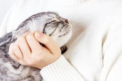 Happy kitten likes being stroked by woman's hand. The British Shorthair. Scottish kitten Royalty Free Stock Photo