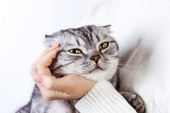 Happy kitten likes being stroked by woman's hand. The British Shorthair. Scottish kitten Stock Photography