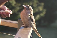 Happy Kookaburra Being Fed. Happy looking kookaburra perched on a railing, being fed by human Royalty Free Stock Images