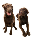 Happy Labbies Royalty Free Stock Photography