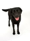 Happy Labrador. A black Labrador dog posing for the camera stock photography