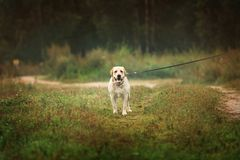 Happy labrador dog pulls the leash on green field Royalty Free Stock Photos