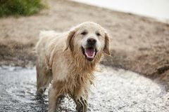 Happy labrador enjoy playing on beach with owner. Royalty Free Stock Image