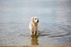 Happy labrador enjoy playing on beach with owner. Pet concept. Royalty Free Stock Images