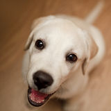 Happy labrador puppy Royalty Free Stock Photo
