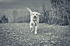 Happy labrador puppy runs to you. Along stony road in monochrome Royalty Free Stock Photo