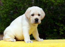 Happy labrador puppy on yellow background Royalty Free Stock Images