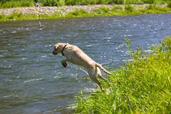 Happy Labrador Retriever Stock Photo