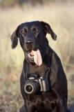 Happy labrador retriever Royalty Free Stock Image