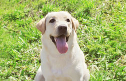 Happy labrador retriever dog on the grass Stock Photo