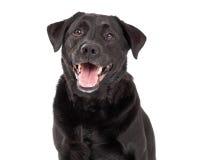 Happy Labrador Retriever Dog Head Shot Stock Photography