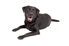 Happy Labrador Retriever Dog Laying Royalty Free Stock Image