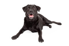 Happy Labrador Retriever Dog Laying At An Angle Stock Image