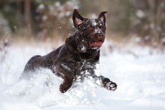 Happy labrador retriever dog running in winter Royalty Free Stock Photo