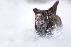 Happy labrador retriever dog running in winter Royalty Free Stock Photography