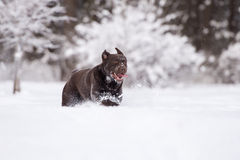Happy labrador retriever dog running in winter Stock Images