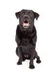 Happy Labrador Retriever Dog Sitting Royalty Free Stock Photo