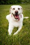 Happy Labrador retriever Stock Images