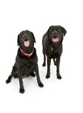 Happy Labs Stock Image