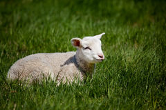 Happy Lamb Royalty Free Stock Image