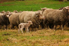 Happy lamb found it's mother. Royalty Free Stock Photo