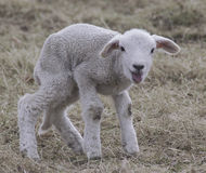 Happy Lamb takes first steps Royalty Free Stock Images