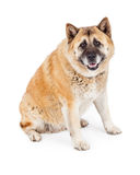 Happy Large Akita Dog Sitting Royalty Free Stock Photo