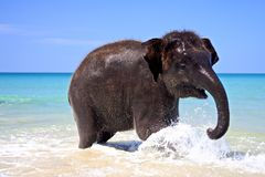 Happy laughing elephant. Baby elephant is happy to swimm stock photos