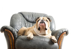 Happy lazy dog Bulldog on a sofa Royalty Free Stock Photos