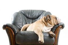 Happy lazy dog Bulldog on a sofa. Happy lazy dog English Bulldog on a leather armchair sofa Stock Image