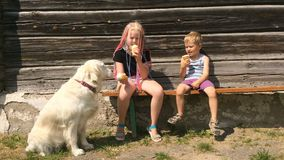 Happy life of pets. funny video - beautiful golden retriever and children eating ice cream in the garden - handheld. Shoot stock footage