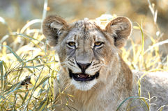 Happy lion cub. Portrait of a lion cub in the bright sunshine in africa Stock Photo