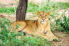 Happy lion in Tarangire Park, Tanzania. Happy lion in the Tarangire National Park, Tanzania Stock Photos