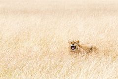 Happy Lioness Hiding in Tall Grass of Kenya. Lioness lying in tall grass in Kenya, Africa with funny happy expression Royalty Free Stock Image