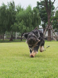 Happy little black dog. Running on the grass Stock Image