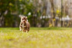 Happy little chihuahua Stock Images