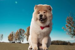 Happy little chow chow puppy dog wearing bowtie smiles stock photo