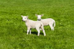 Happy little cute new born lambs running on spring field. royalty free stock photo
