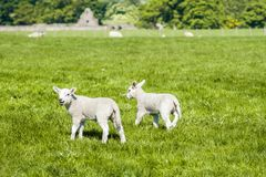 Happy little cute new born lambs running on spring field. stock photos