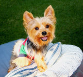 Happy Little Dog. Smiling, happy, playful adorable little yorkshire terrier dog having fun posing on a chair outside Stock Photography