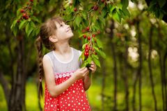 Happy little girl play near cherry tree in summer garden. Kid picking cherry on fruit farm. Child pick cherries in summer orchard. royalty free stock photos