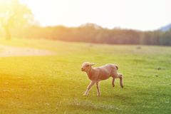 Happy little lamb running and jumping in sunrise warm light on beautiful meadow.  royalty free stock photography