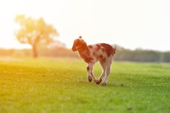 Happy little lamb running and jumping in sunrise warm light on beautiful meadow.  stock image