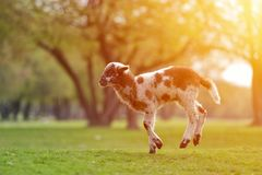 Happy little lamb running and jumping in sunrise warm light on beautiful meadow.  stock photo
