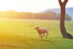 Happy little lamb running and jumping in sunrise warm light on beautiful meadow.  royalty free stock photos