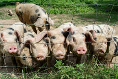 Happy Little Pigs. On a farm Stock Image
