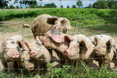Happy Little Pigs. On a farm Stock Photography