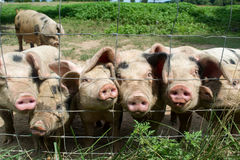 Happy Little Pigs. On a farm Royalty Free Stock Photography